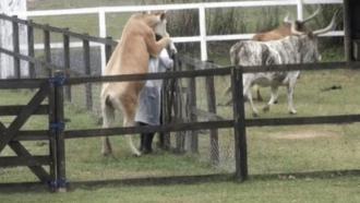 A Fazenda 13: Nego do Borel leva 'montada' de vaca no trato dos animais